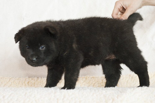 Kumi-Second-Litter-Pup1-Female(Mika)-Day30b