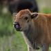 Bison Calf_.jpg