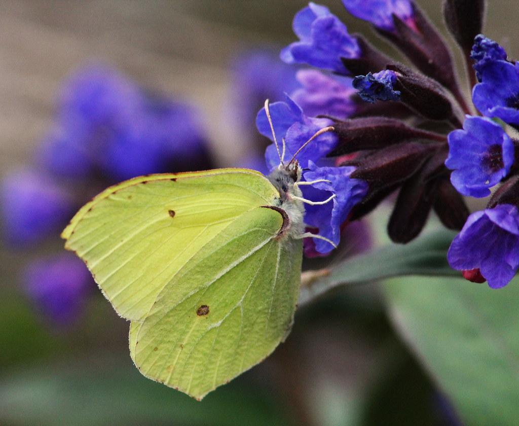 Лимонница (Gonepteryx rhamni). Автор фото:Татьяна Бульонкова