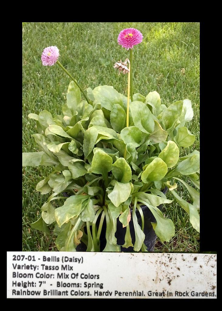 Bellis(Daisy)