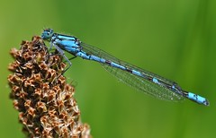 Blue Agrion (Coenagrion puella)
