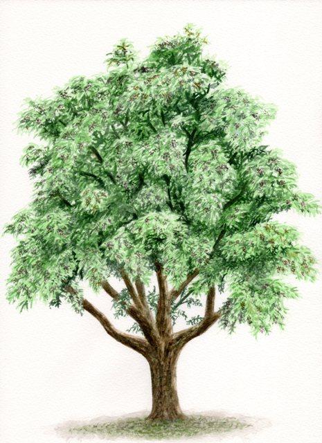 molave tree vitex parviflora illustration of the