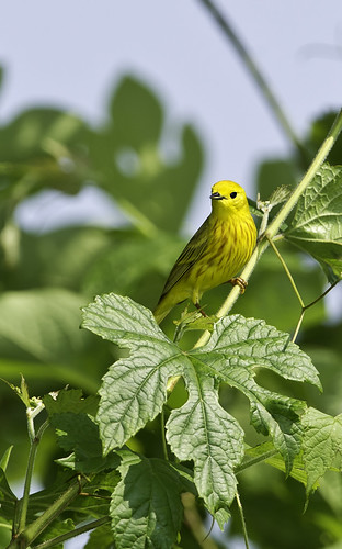 yellowwarbler2
