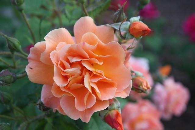 rosa albaricoque
