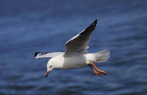 Silver Gull : About to land . . .