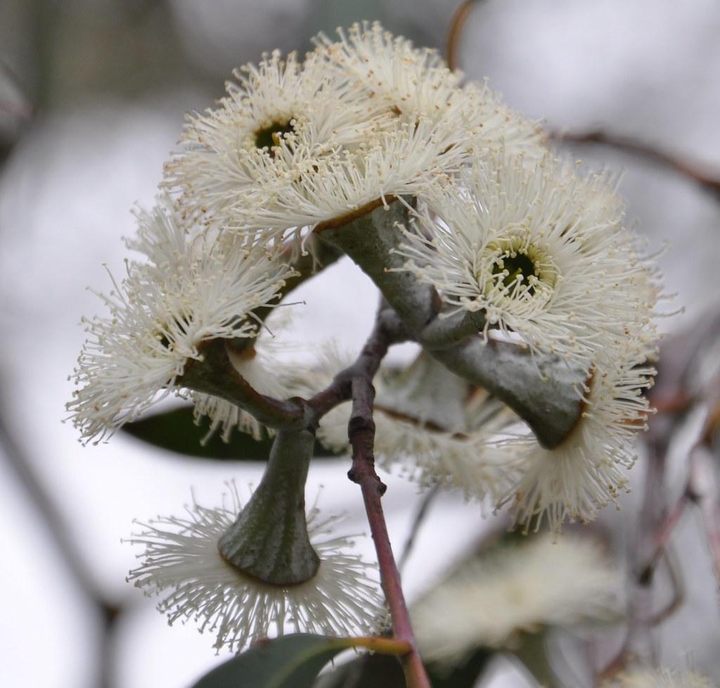 Eucalyptus_coccifera_Jer_170512_3