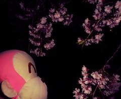 Sakura in Komoro