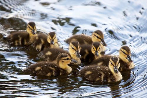 bird water dallas duck pond texas tx wildlife ducklings mallard canonef70200mmf28lisusm canonextenderef2xii canoneos5dmarkii canon5dmarkii
