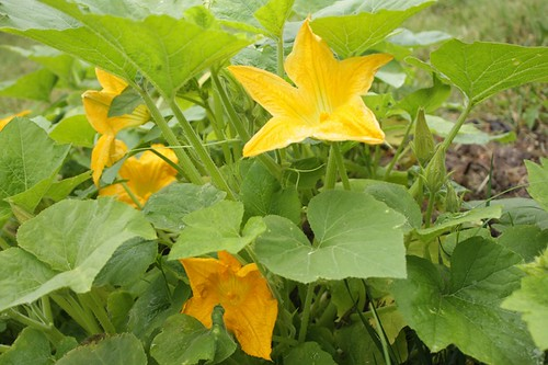 Pumpkin Blossoms 1