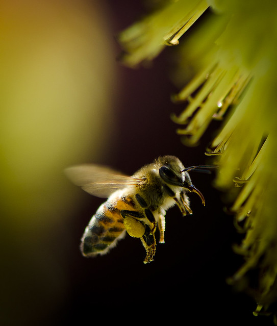 Honey bee hovers in Tri-Cities, WA by Scott Butner for State of the Environment