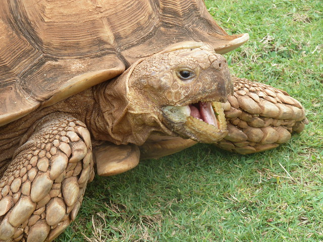 African spurred tortoise - photo#49