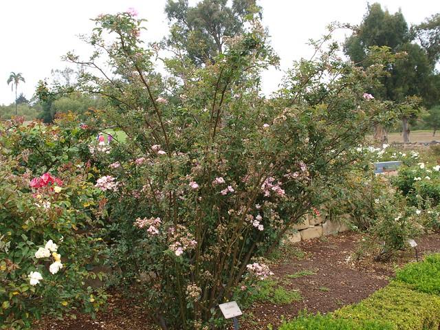 L6104308 Ausonius rose, 1932, hybrid musk