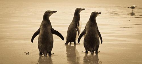 yellow-eyed-penguins