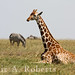 Reclining Giraffe by blair_costelloe