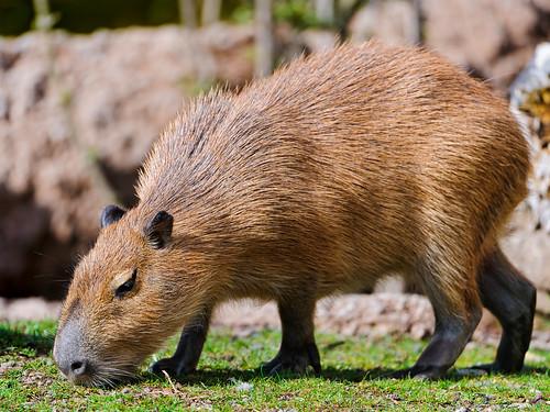 [フリー画像素材] 動物 1, 哺乳類, カピバラ ID:201206191000