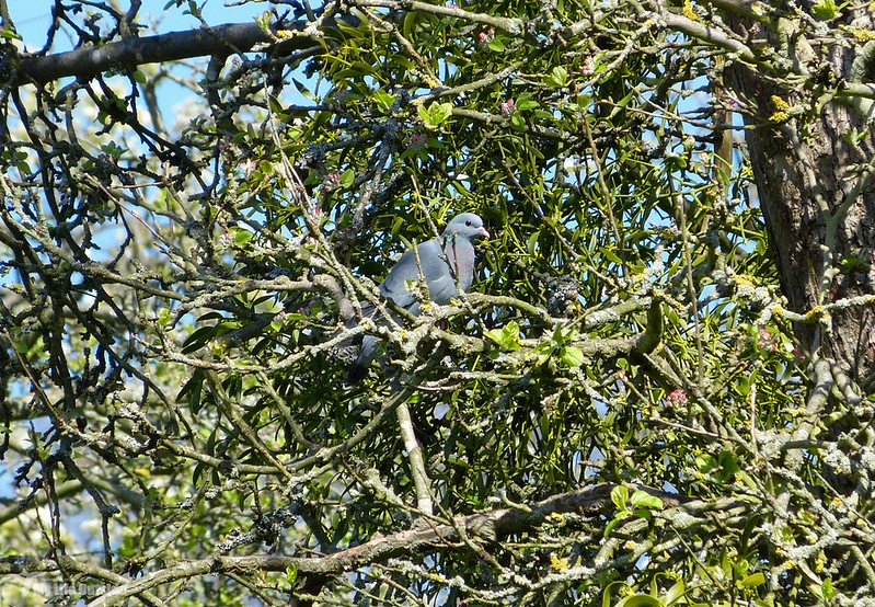 P1070528 - Stock Dove, Worrall's Grove