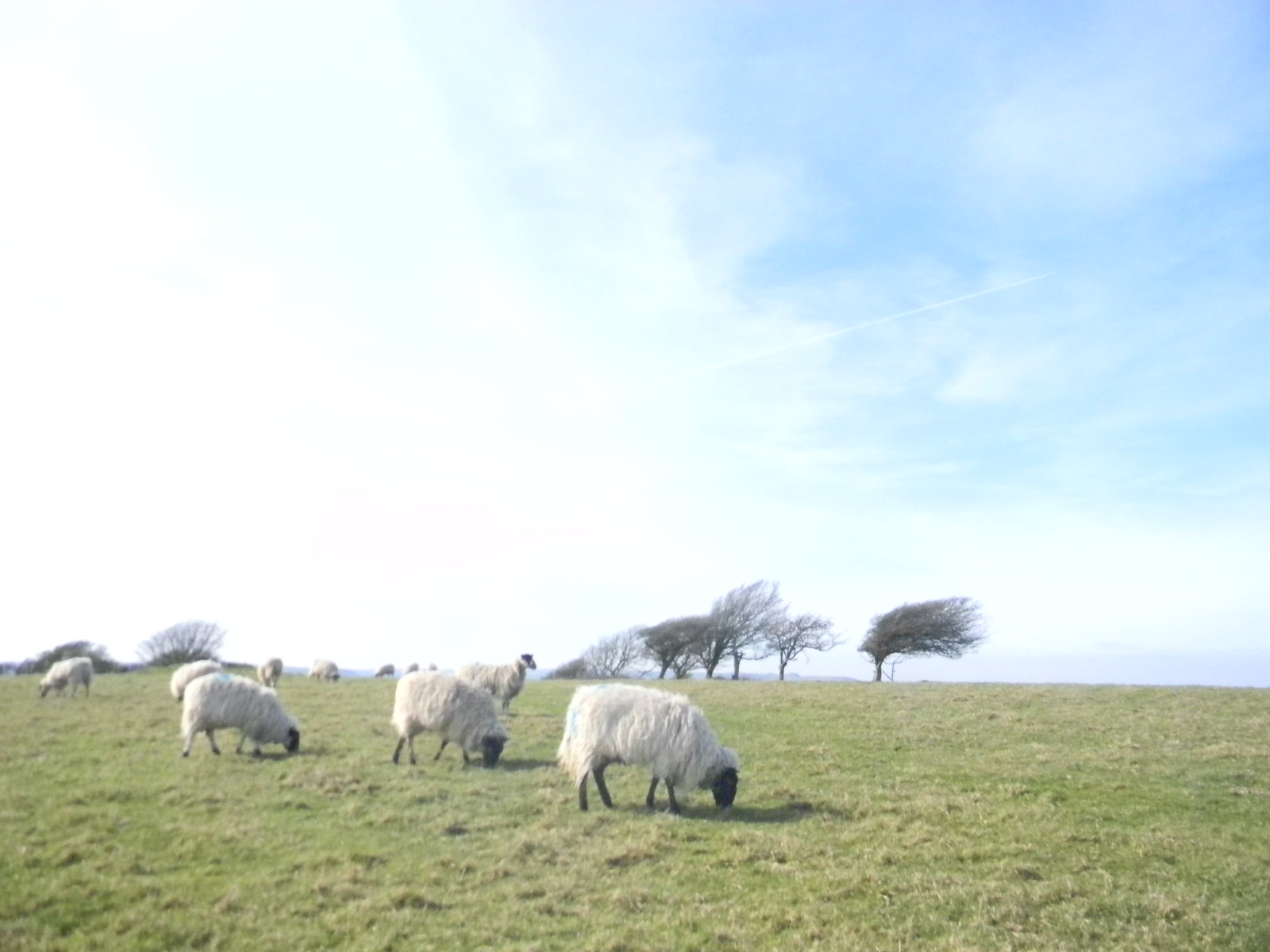 Sheep with trees Lewes Circular via West Firle