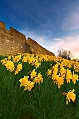 York Daffodils In The Breeze