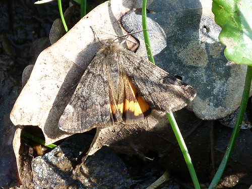 Orange Underwing (Archiearis parthenias) by Peter Orchard