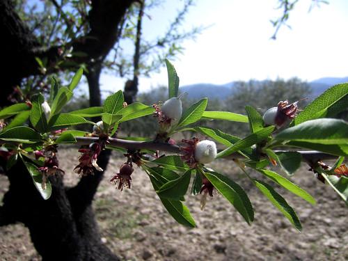Almendro en fruto