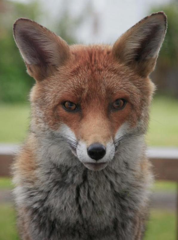 Garden Fox