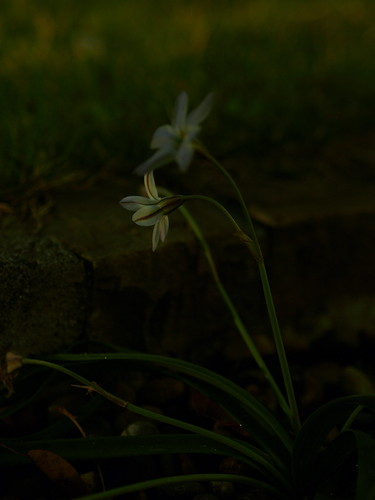 夜の庭のハナニラ