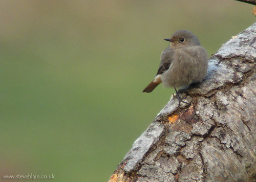 Black Redstarts at The Lodge