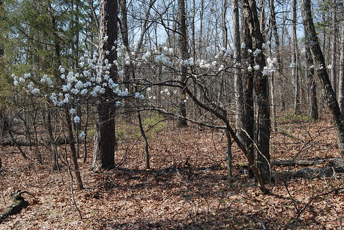 Picture of a Serviceberry, Amelanchier arborea, tree in the Bell Mountain Wilderness in Missouri in early spring.