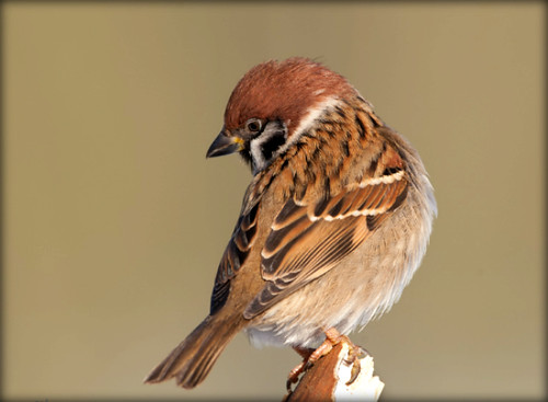 Ringmus (Eurasian Tree Sparrow) in our backyard. Explore #187