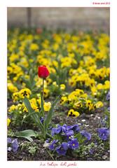 La tulipa del jardí