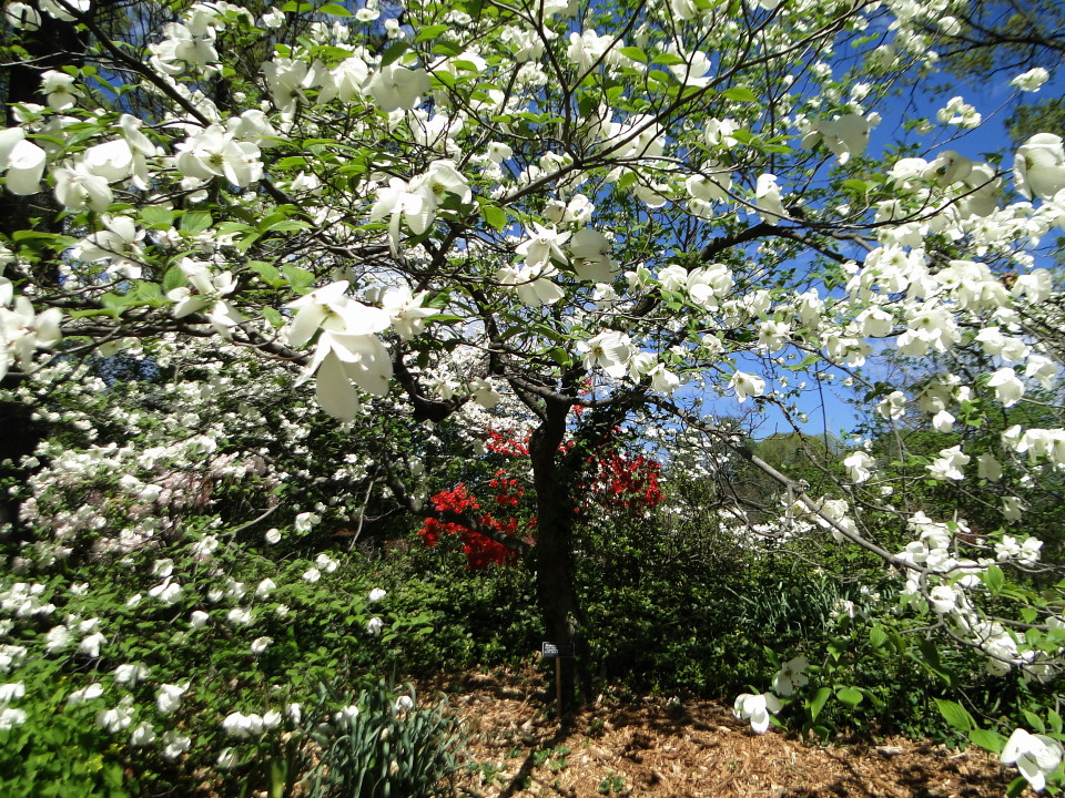 6-77-21apr12_3656_Botanical_garden_dogwood