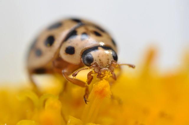 Pollen feeding ladybird