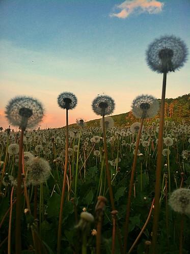 Sea of Dandelions - (explored)