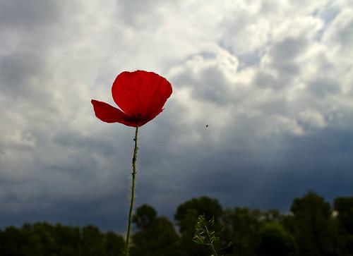 Papavero sotto cielo pluvio.. by Claudio61 una foto ferma un ricordo nel tempo