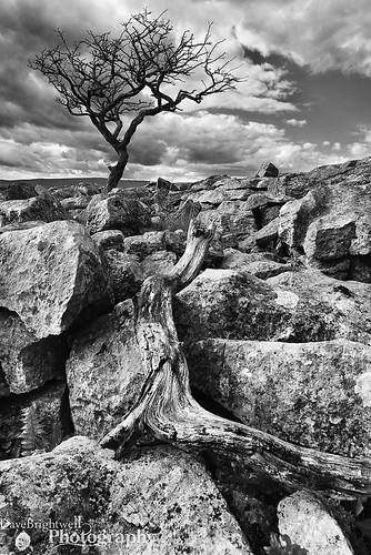 tree landscape yorkshire limestone malhamcove
