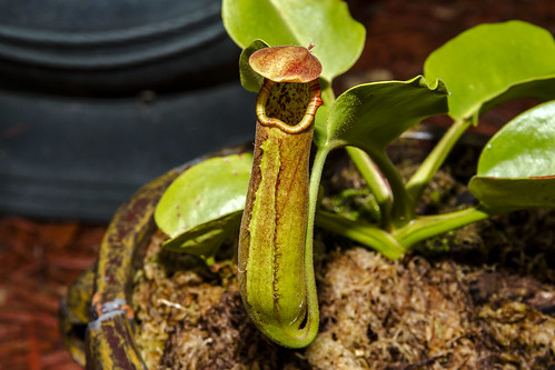 Truncata - Pasian lower