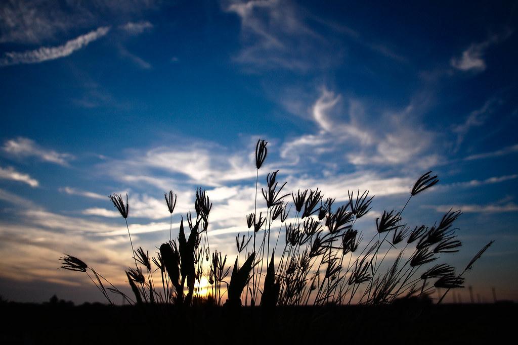 夕陽西下、晒晒芒草