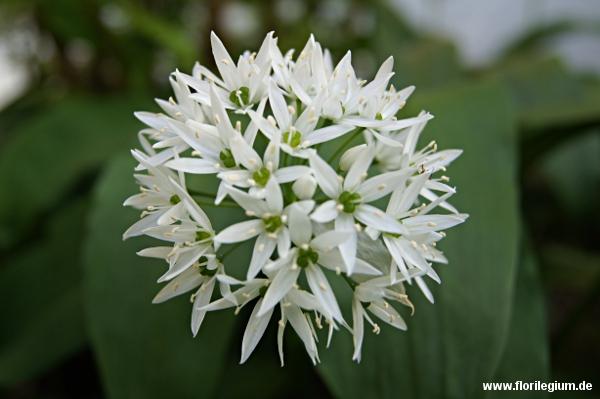 Bärlauch (Allium ursinum) im Garten für die Küche