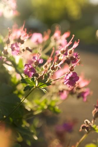 geranium macrorrhizum  1661
