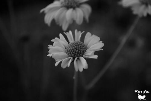 bw flower mono nikon kat bokeh navas katheryn katspics d3000 meticulouskat