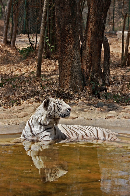 White Tiger, Bannerghetta National Park