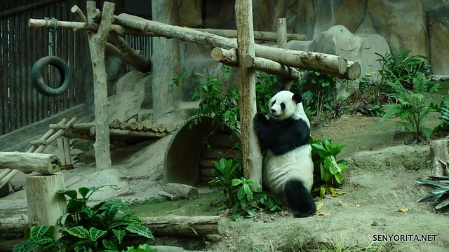 Pandas in Chiang Mai Zoo