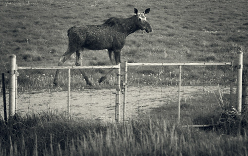 blackandwhite bw ontario canada female blackwhite alone dusk grain young lindsay moose stray lonely grainy calf toned youngin kawarthalakes strayed outofherzone outofherelement withouthermom withouthermother