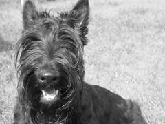 dog breed, animal, berger picard, dog, schnoodle, standard schnauzer, vulnerable native breeds, schnauzer, cesky terrier, monochrome photography, monochrome, carnivoran, black-and-white, black, scottish terrier, terrier,