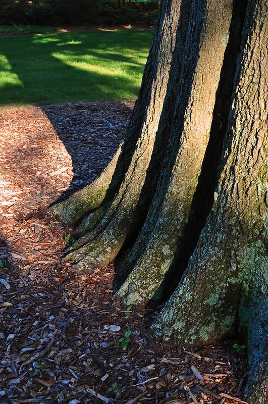 Quercus phellos (5)