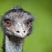 Emu by wwarby