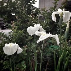 白い花菖蒲、続々開花。