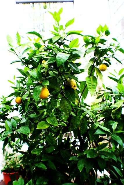 Lemon Tree at culzean Castle
