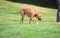 hound(0.0), bavarian mountain hound(0.0), sighthound(0.0), sports(0.0), rhodesian ridgeback(0.0), dog sports(1.0), animal sports(1.0), dog breed(1.0), animal(1.0), dog(1.0), redbone coonhound(1.0), pet(1.0), carnivoran(1.0), vizsla(1.0),