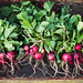 farmers market radishes by hannah * honey & jam